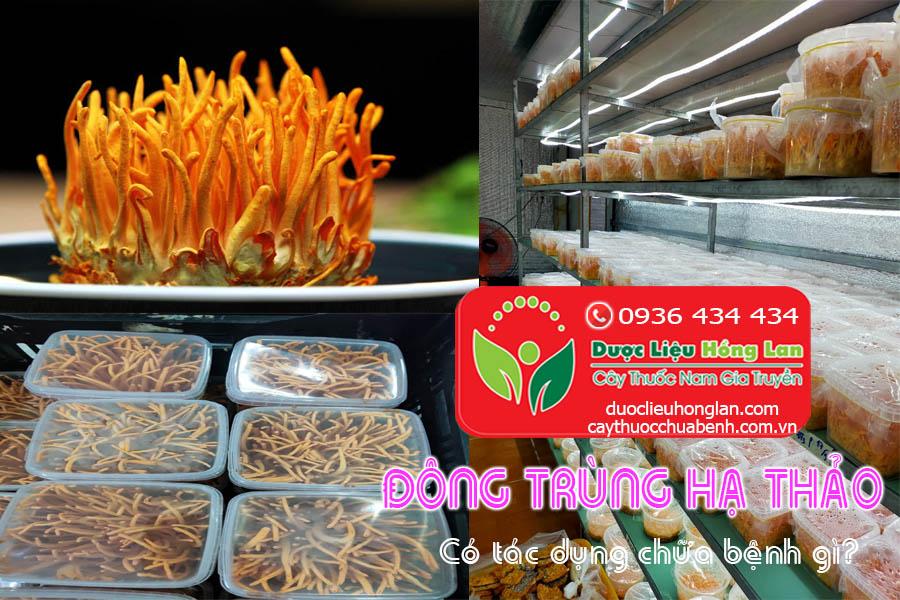 DONG-TRUNG-HA-THAO-CO-TAC-DUNG-CHUA-BENH-GI-CTY-DUOC-LIEU-HONG-LAN