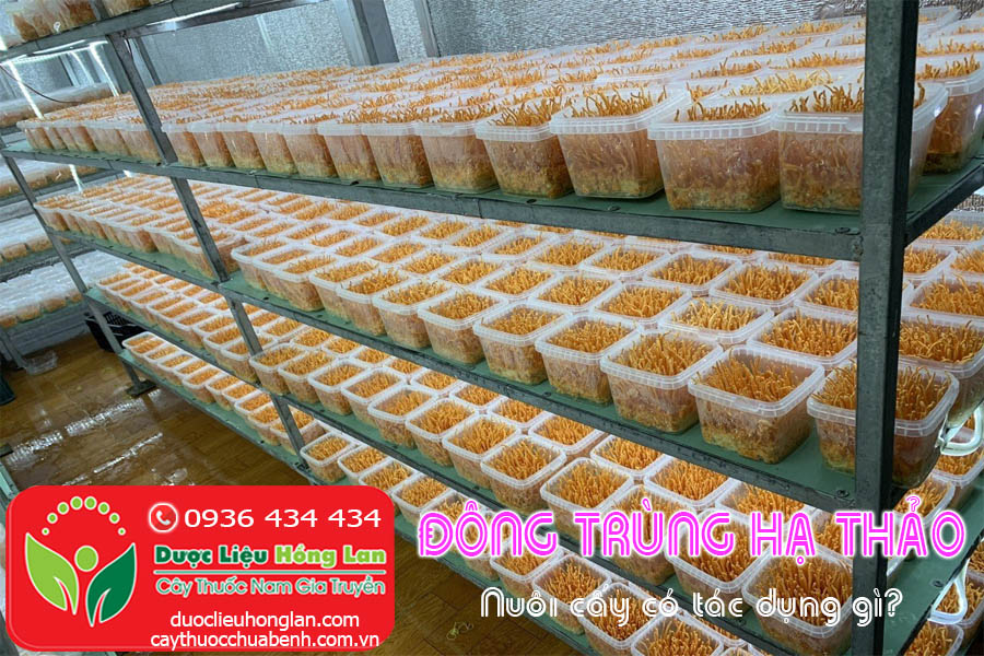 DONG-TRUNG-HA-THAO-NUOI-CAY-CO-TAC-DUNG-GI-CTY-DUOC-LIEU-HONG-LAN