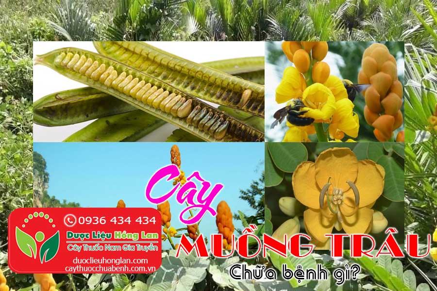 CAY-MUONG-TRAU-CHUA-BENH-GI-CTY-DUOC-LIEU-HONG-LAN