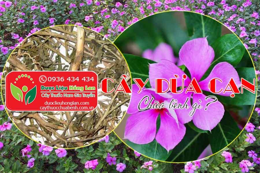 CAY-DUA-CAN-CHUA-BENH-GI-CTY-DUOC-LIEU-HONG-LAN