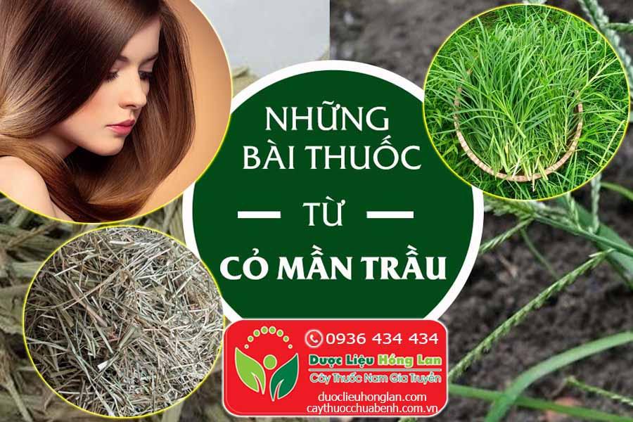 NHUNG-BAI-THUOC-TRI-BENH-TU-CAY-CO-MAN-TRAU-CTY-DUOC-LIEU-HONG-LAN